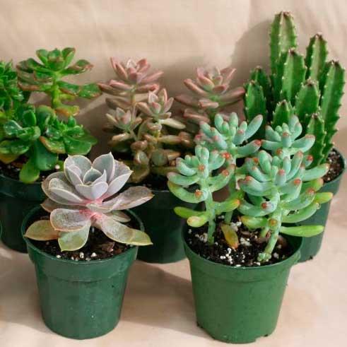 Комнатные растения: суккуленты и кактусы